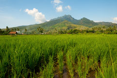 Rice Fields, East Java, Indonesia Royalty Free Stock Photos