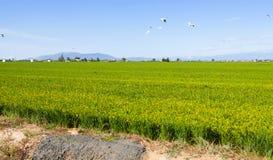 Rice fields in  Ebro Delta Stock Photos