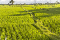 Rice fields in the evening on Bali Royalty Free Stock Photos