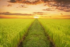 Rice fields in the evening. With pathways to the horizon Royalty Free Stock Photography