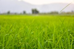 Rice fields and evening sunsets. Green rice fields With the background as the evening sun is falling stock images