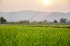 Rice fields and evening sunsets. Green rice fields With the background as the evening sun is falling stock photo