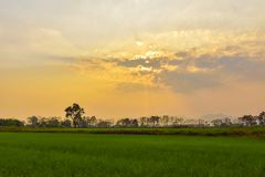 Rice fields and evening sunsets. Green rice fields With the background as the evening sun is falling stock photos