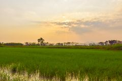 Rice fields and evening sunsets. Green rice fields With the background as the evening sun is falling stock photography