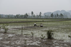 Rice fields with farmers. Nimh Binh, Vietnam. Royalty Free Stock Photos