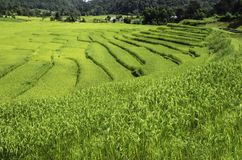 Rice fields. Farmers use rice fields for rice cultivation Stock Photo