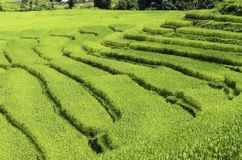 Rice fields Royalty Free Stock Images