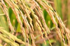 Rice fields. The rice fields in farmland stock photo