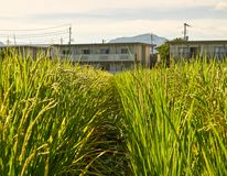 Rice Fields. Rice field surrounding by Japanses community in Yamaguchi City, Japan Royalty Free Stock Images