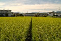 Rice Fields. Rice field surrounding by Japanses community in Yamaguchi City, Japan Stock Photography