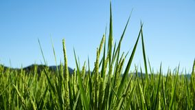 Rice Fields. Rice field surrounding by Japanses community in Yamaguchi City, Japan Royalty Free Stock Photography