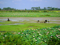 Rice fields. Rice field workers and Lilly royalty free stock photography