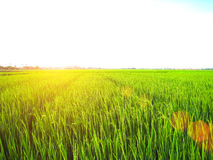 Rice fields are flowering period Royalty Free Stock Photo