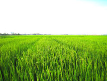 Rice fields are flowering period Royalty Free Stock Images