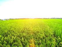 Rice fields are flowering period Royalty Free Stock Image