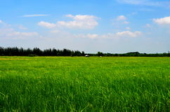 The rice fields. Rice fields are full of beautiful stock images