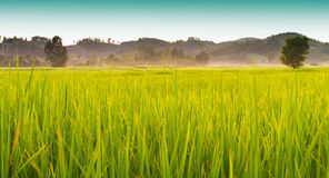 Rice fields gold color Stock Image