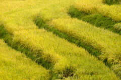 Rice fields. Gold rice filed and ear of rice Royalty Free Stock Photos