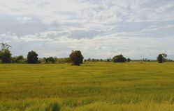 The rice fields. The gold rices fields land landscape view in Thailand Stock Image