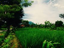 The rice fields. Rice fields with great blue sky royalty free stock images