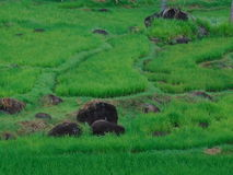 Rice fields. Green rice fields Stock Photography