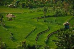 Rice fields Stock Photo