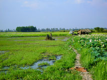 Rice fields. Green rice fields of Cambodia with workers stock photography