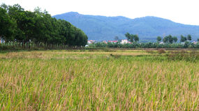 Rice fields, green trees and mountains Royalty Free Stock Photography