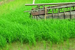 The The rice fields grow beautiful green. royalty free stock photography
