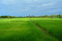 Rice fields growing green. Stock Images