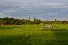 Rice fields growing green. Royalty Free Stock Image