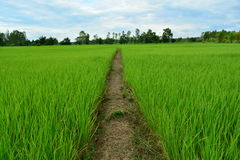 Rice fields growing green. Royalty Free Stock Photos