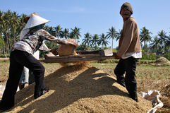 Rice fields harvest. Harvest workers, Lombok, Indonesia Royalty Free Stock Photos