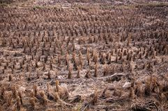 Rice fields after harvest Royalty Free Stock Photography