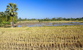 Rice fields during harvest Stock Photography