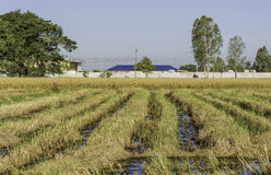 Rice. The rice fields after harvest Stock Image