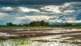 Rice fields after harvest with blue sky Stock Images