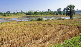 Rice fields during harvest Royalty Free Stock Photo