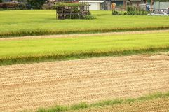 Rice Fields at Harvest Time Stock Images