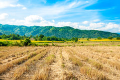 Rice fields after harvested Stock Images