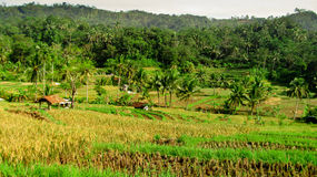 Rice fields have been harvested Royalty Free Stock Photo