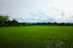 rice fields with hills and mountains in the background stock photography