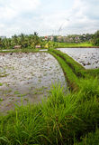 Rice fields and house, Bali. An image showing some ploughed plots of rice padi fields with some small thatched houses in the back. Quaint local architecture Stock Photography