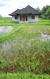 Rice fields and house, Bali, asia. An image showing some fresh green plots of lush rice padi fields with a small brick house in the middle. Quaint local royalty free stock images