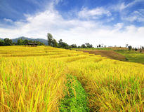 Rice Fields In The  North Of Thailand