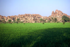 Rice Fields,India. Rice Fields in Barren Landscape in Hampi,India Royalty Free Stock Photography