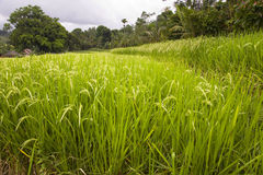 Rice fields in Indonesia Royalty Free Stock Photography