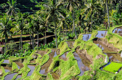 Rice fields in indonesia Royalty Free Stock Photo