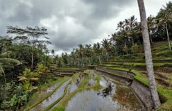Rice fields in Indonesia Royalty Free Stock Photos