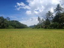 Rice fields on an island in Lake Toba, Sumatra, indonesia, travel holiday royalty free stock photography